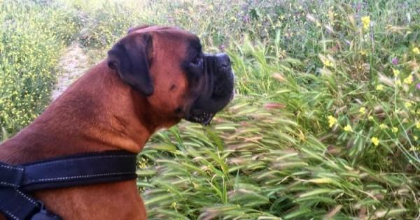 Άγανα: Τι είναι και πώς μπορούμε να προστατέψουμε τον σκύλο μας