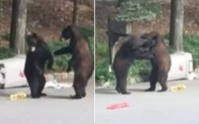 bearfight