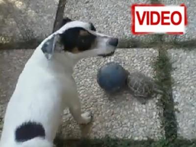 Χελώνα παίζει… μπάλα παρέα με έναν σκύλο! (video)