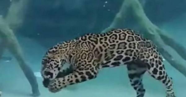 Ο απόλυτος τρόμος: Τζάγκουαρ κυνηγά στο βυθό! (video)