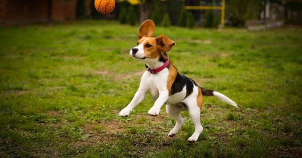 Tι γίνεται όταν 30 Beagle, βρίσκονται μαζί σε ένα πάρκο σκύλων; (video)