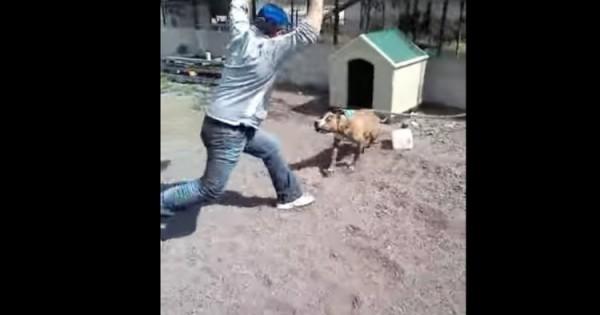 Pitbull αλυσοδεμένο παρενοχλείται και… (video)