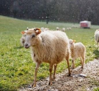 Γιατί προσέλαβαν 80 πρόβατα στην Ελβετία;