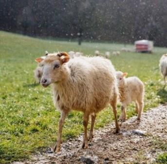 sheep-300x294
