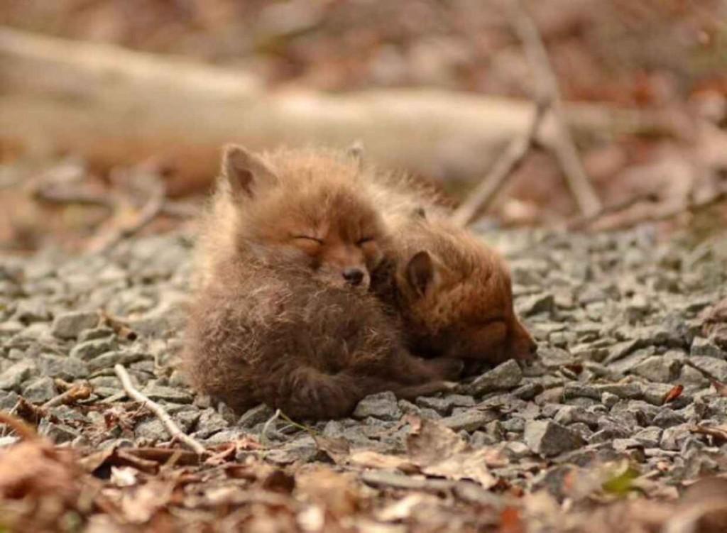 μωρά αλεπουδάκια αλεπού