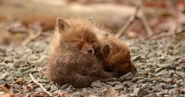 Αυτά τα μωρά αλεπουδάκια θα σας κλέψουν την καρδιά (εικόνες)