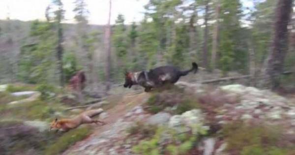 Όταν ένας Γερμανικός Ποιμενικός συνάντησε στο δάσος μια αλεπού έγινε κάτι απερίγραπτο – Δείτε το βίντεο