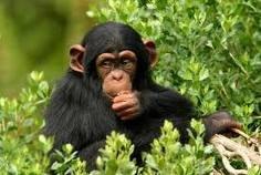 Οι χιμπατζίδες ξέρουν από μαγειρεμένο φαγητό!