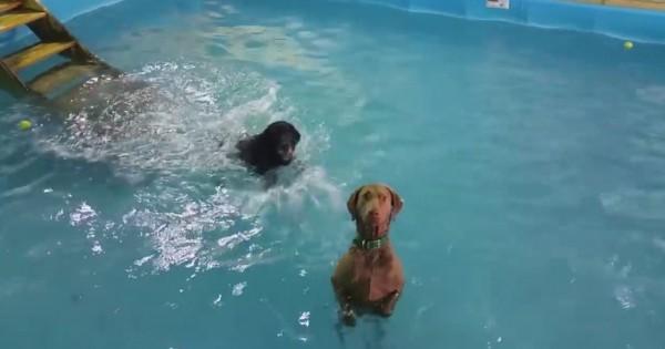 Αφήνει τα σκυλιά της να μπουν στην πισίνα. Δείτε τι κάνει το μαύρο λαμπραντόρ! (Βίντεο)