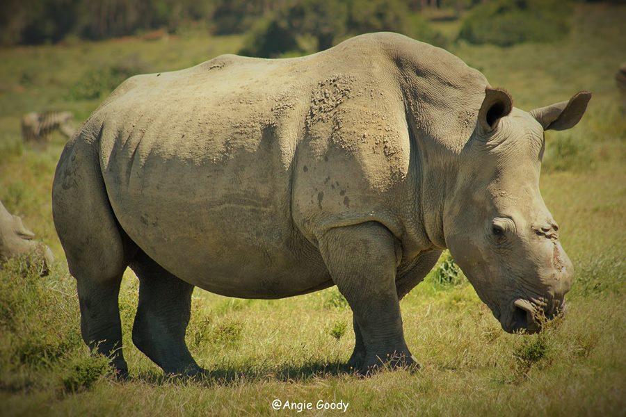ρινόκερος