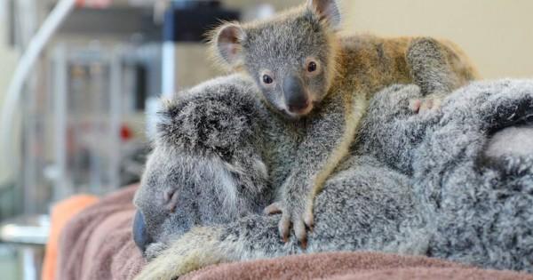 Αυτό το μωρό κοάλα δεν σταμάτησε να αγκαλιάζει τη μητέρα του κατά τη διάρκεια του χειρουργείου