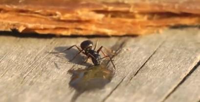 Ένα μεθυσμένο μερμήγκι (Βίντεο)