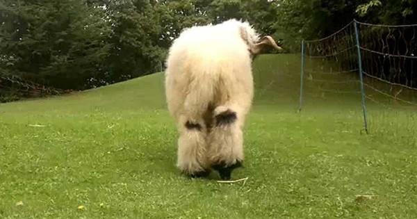 Από πίσω μοιάζει με ένα συνηθισμένο πρόβατo. Όταν όμως το δείτε από μπροστά θυμίζει κάτι άλλο! (Βίντεο)