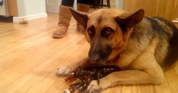 Αξιολάτρευτος γερμανικός ποιμενικός προσπαθεί να προστατεύσει έναν αστακό ώστε να μην γίνει… γεύμα! (Βίντεο)
