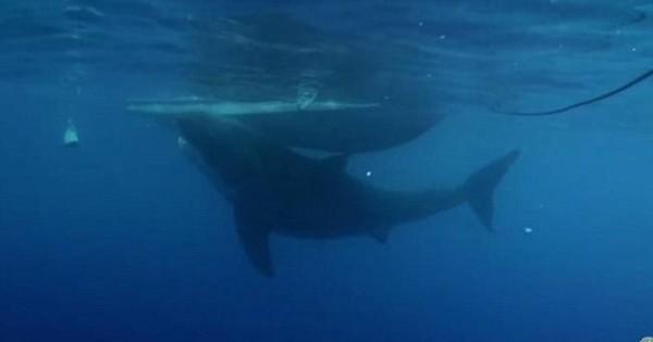 Εντοπίστηκε ο μεγαλύτερος λευκός καρχαρίας και είναι τρομακτικός (photos&video)