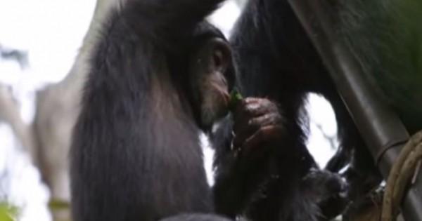 Χιμπατζήδες συνελήφθησαν να τα… τσούζουν