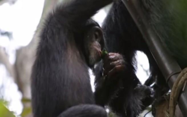 Χιμπατζήδες