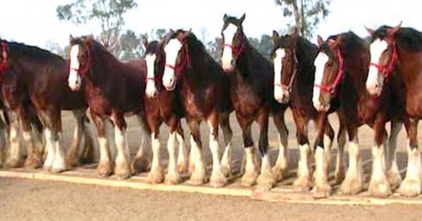 """Δείτε τα πανέμορφα άλογα """"Budweiser Clydesdales"""" και τη διαδρομή τους στο Superbowl (Βίντεο)"""