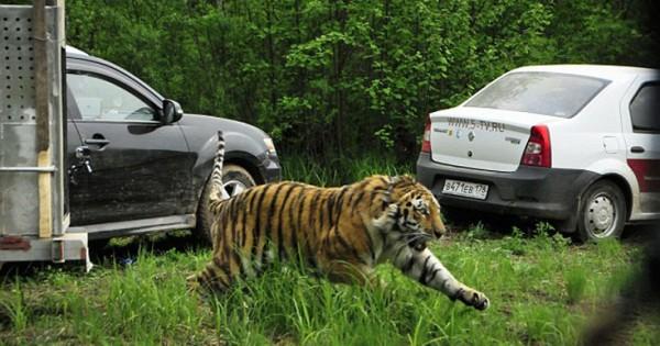 Απελευθερώνοντας μια τίγρη (Βίντεο)