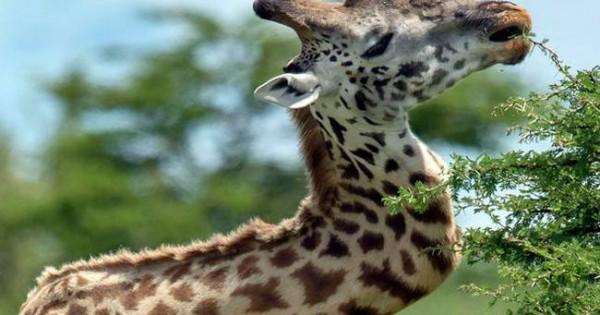 Καμηλοπάρδαλη ζούσε με σπασμένο… λαιμό για πέντε χρόνια! (video)