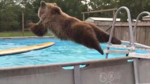 Μια αρκούδα κάνει βουτιές στην πισίνα (Βίντεο)