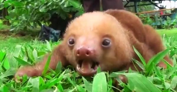 Αυτοί οι μικροί βραδύποδες είναι σίγουρο ότι θα σας φτιάξουν τη διάθεση! (Βίντεο)
