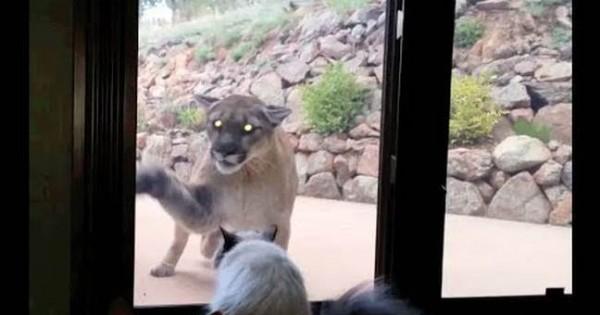 Γάτα αδιαφορεί πραγματικά για τη μεγάλη γάτα (video)