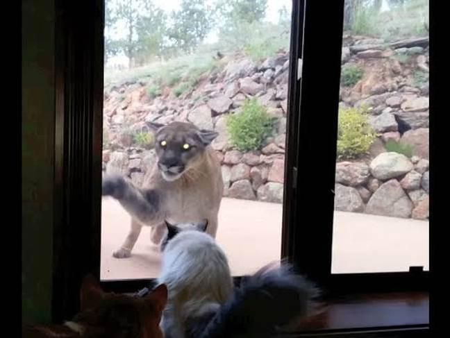 Λιονταρίνα λιοντάρι Γάτα