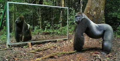 Η αντίδραση άγριων ζώων όταν κοιτούν σε καθρέφτη