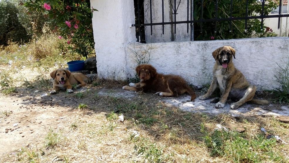 Σκύλος κουτάβια