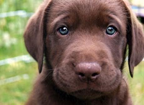 υγεία μάτια σκύλου μάτια