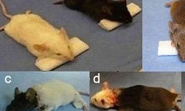 χειρουργός Φρανκενστάιν ποντίκια μεταμόσχευση μαϊμούδες