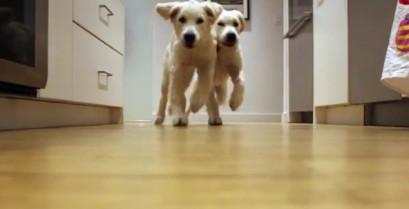 Δύο κουτάβια τρέχουν προς το φαγητό τους (Βίντεο)