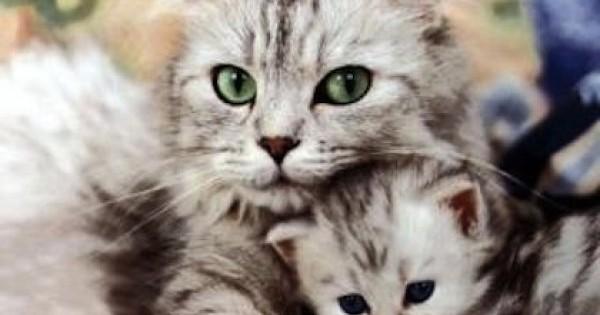 Δείτε μία μαμά γάτα να σώζει το παιδί της από ένα μωρό