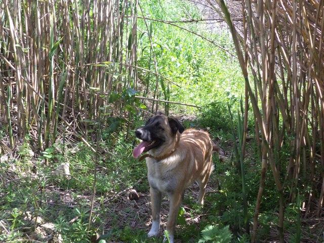 Χαρίζεται Σκύλος Μαλινουά Θεσσαλονίκη