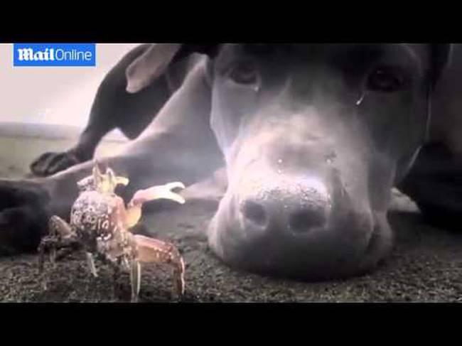 Σκύλος καβούρι
