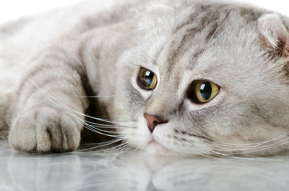 δερματικές διαταραχές δέρμα Γάτα