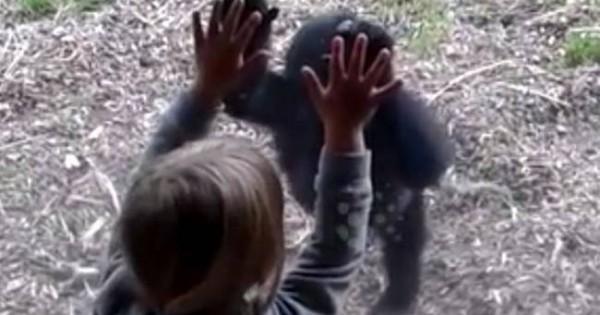 Ό,τι πιο γλυκό είδατε σήμερα! Η ξεχωριστή φιλία ενός μικρού κοριτσιού με ένα… γοριλάκι! (video)