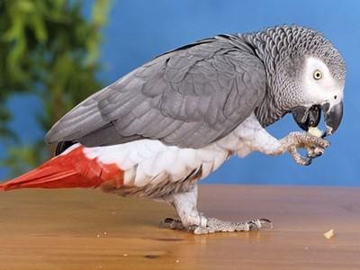 Γιατί παπαγαλίζει ο παπαγάλος; Λύθηκε το μυστήριο!