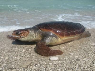 Αλεξανδρούπολη: Νεκρή χελώνα καρέτα καρέτα