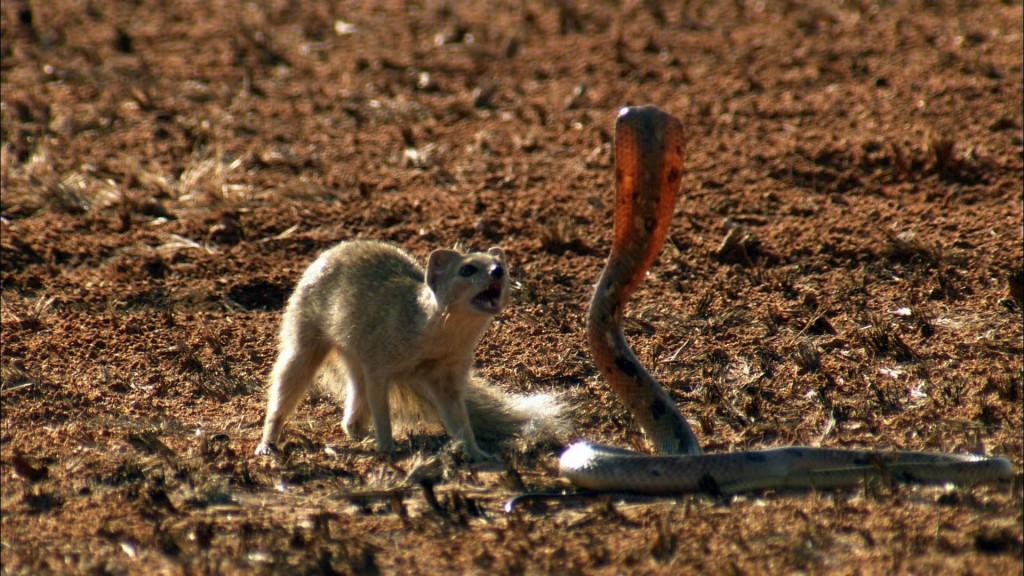 μάχη μαγκούστα κόμπρα Mongoose cobra