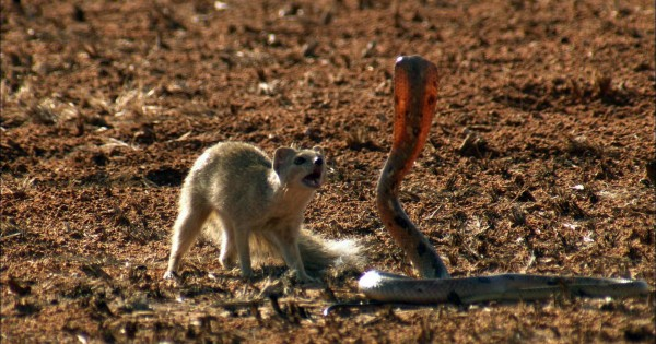 Θανάσιμη μάχη μεταξύ ενός Μαγκούστα και μιας Κόμπρας! Σκληρή μάχη με έναν νικητή! (Βίντεο)