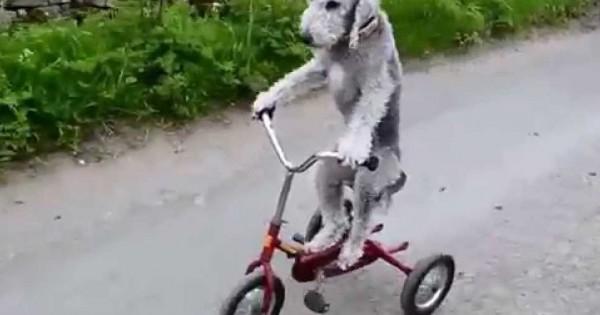 Απίστευτο! Αυτός ο σκύλος κάνει ποδήλατο! (Βίντεο)