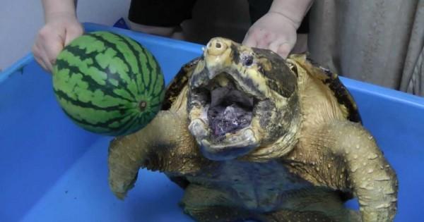 Δείτε πως αυτή η γιγάντια χελώνα συντρίβει με τα σαγόνια της ένα καρπούζι (Βίντεο)