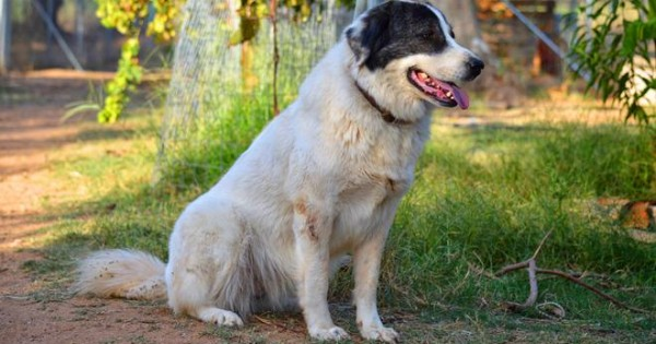 Ελληνικός Ποιμενικός: Ο σκύλος που εξημερώθηκε από τον θεό Απόλλωνα