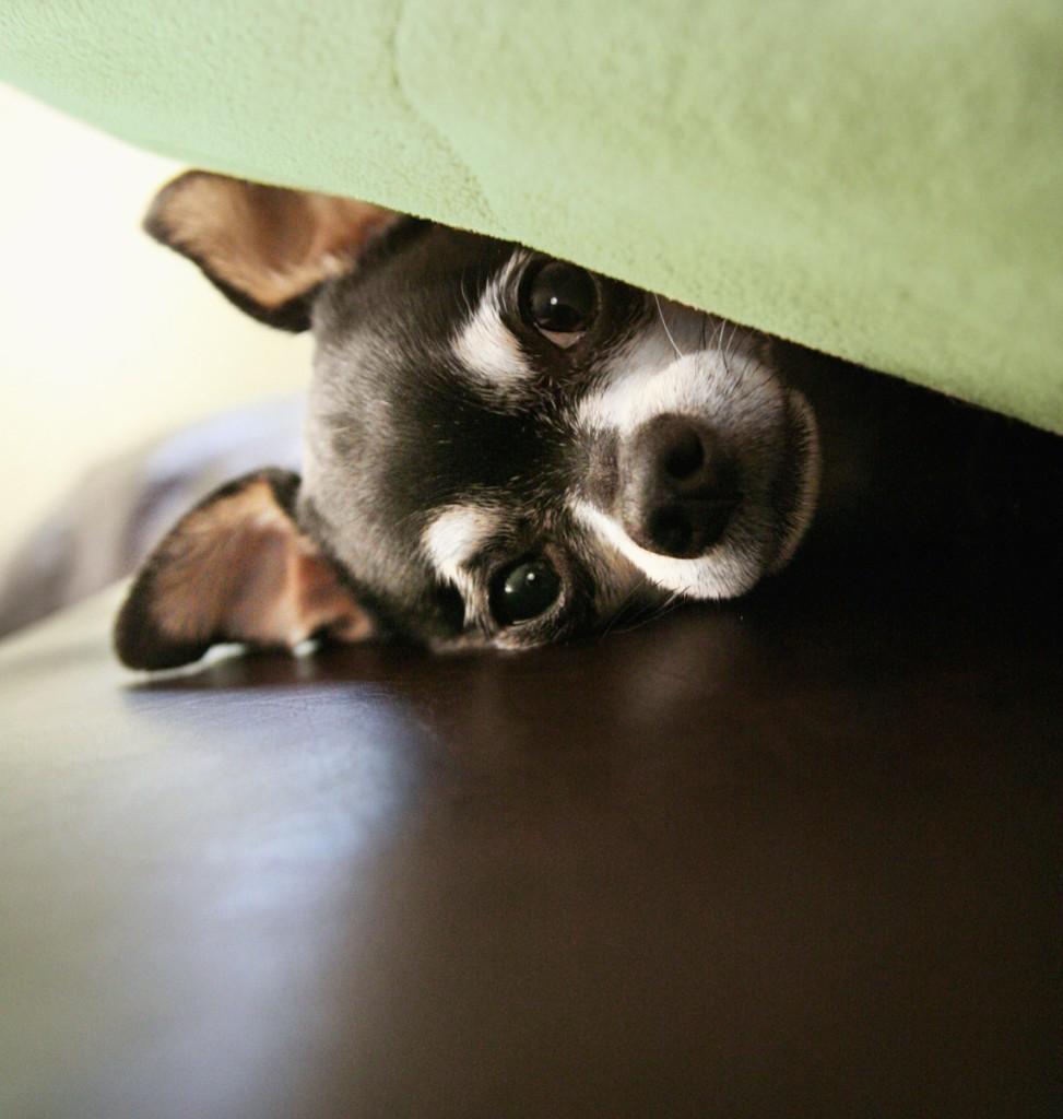 φόβος Σκύλος πανικός κρότος κεραυνός θόρυβος