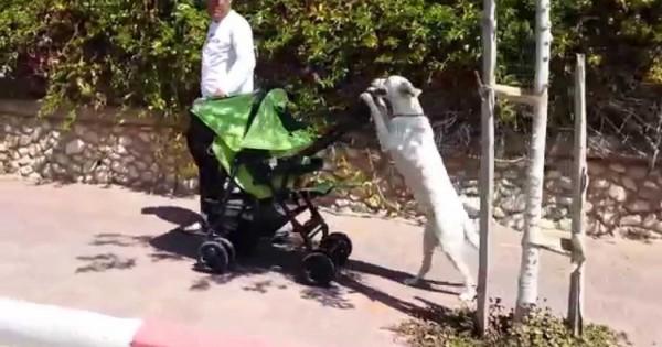 Σκύλος βγάζει βόλτα μωρό με καροτσάκι!