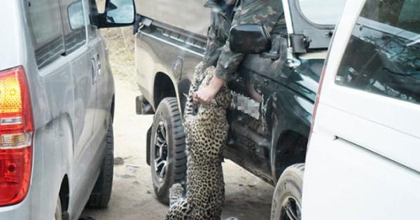 Λεοπάρδαλη επιτέθηκε σε οδηγό σαφάρι (Εικόνες)