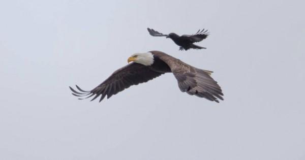 Φωτογράφος έπιασε την μοναδική στιγμή όπου ένα κοράκι ίππευσε έναν αετό. Εντυπωσιακό! (Εικόνες)