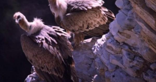 Απελευθερώνονται 8 γύπες στον Γιούχτα Ηρακλείου